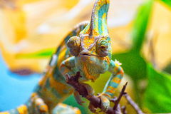 The colorful Chameleon Stock Photos