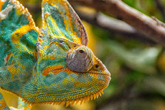 Colorful Chameleon sitting on a branch Royalty Free Stock Photos