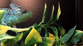 Colorful chameleon in a tank. A chameleon looks around while standing on a branch in a tank stock video footage