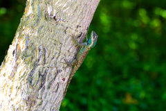 Colorful Chameleon on the tree. Stock Photography
