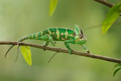 Free Colorful Chameleon Walking On Tree Branch With Green Background. Yemen Chameleon Lizard. Stock Photography - 112430012