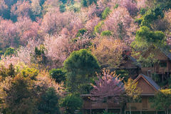 Colorful cheery blossom forest. Colorful cheery blossom forest of the top of  DOI ANG KHANG , Chiang Mai, Thailand, with multicolor leafs and flowers Stock Images