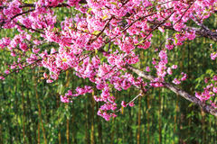 Colorful cheery blossom trees Stock Photography