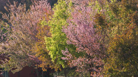 Colorful cheery blossom trees Royalty Free Stock Photography
