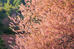 Colorful cheery blossom trees Royalty Free Stock Photos