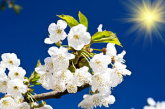 Colorful cherry  tree blossom and fun sun. Royalty Free Stock Photography