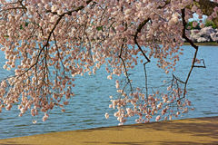 Colorful cherry tree branches close to the water of Tidal Basin. Royalty Free Stock Photos