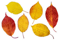 Colorful cherry tree leaves Stock Photography