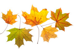 Colorful chestnut leaves in fall Royalty Free Stock Photos