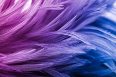 Colorful chicken feathers in soft and blur style for the background. Colorful of chicken feathers in soft and blur style for the background stock photography