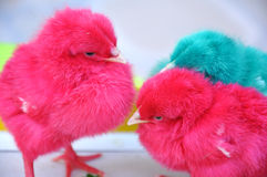 Colorful chicks Stock Photography