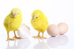 Colorful chicks with broken egg. On white Royalty Free Stock Photography