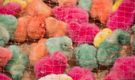 Safety net on Colorful chicks. Safety net on group of colorful chick Stock Photography