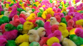 Colorful Chicks red green yellow pink stock images