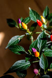 colorful chili peppers Stock Image