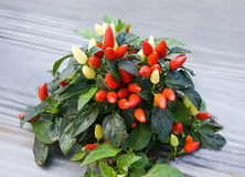 Colorful of chili Stock Photography