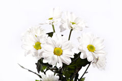 Colorful chrysanthemum. Isolated on white Stock Photos