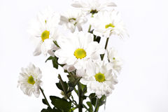 Colorful chrysanthemum. Isolated on white Stock Photo