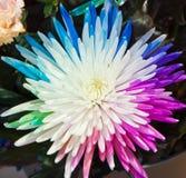 Colorful chrysanthemum Stock Photo