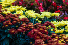 Colorful Chrysanthemum flora blooms. Shallow DOF, focus on the flower at the centre Royalty Free Stock Photography