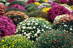 Colorful chrysanthemum flower Stock Images