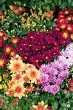 Colorful chrysanthemum Stock Images