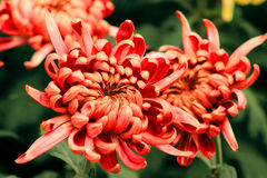 Colorful chrysanthemum. Flower gardening, blooming chrysanthemums, the red petals, bright bright, beautify the environment Stock Photos