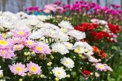 Colorful  chrysanthemum  flowers Royalty Free Stock Photo