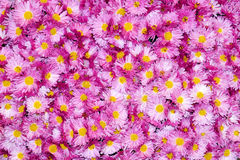 Colorful chrysanthemum flowers beautiful background Stock Images