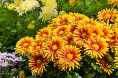Colorful chrysanthemum flowers in bloom Stock Photo