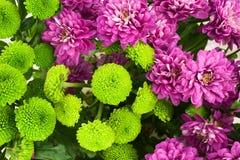 Colorful Chrysanthemum flowers blooming in garden. Royalty Free Stock Photo