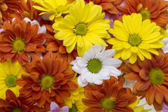 Colorful chrysanthemum flowers Stock Photography