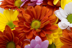 Colorful chrysanthemum flowers Royalty Free Stock Photo