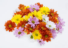 Colorful chrysanthemum flowers Royalty Free Stock Photography