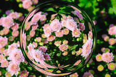 Colorful of chrysanthemum Flowers in glass ball effect  with blurred Flowers background Royalty Free Stock Image