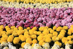 Colorful chrysanthemums stock photography