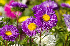 Colorful chrysanthemums Royalty Free Stock Image