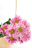 Colorful chrysanthemums in canister Stock Photography