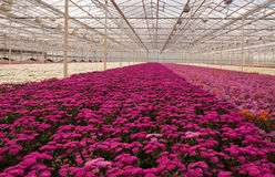Colorful chrysanthemums in a Dutch flower nursery Stock Image