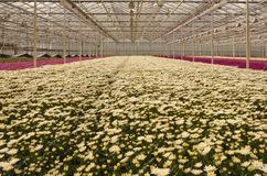 Colorful chrysanthemums in a Dutch flower nursery Stock Photos