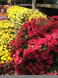 Colorful chrysanthemums fall flowers at floral market. Pretty display of colorful chrysanthemum flowers at a shopping market or flower stand bright pink red Royalty Free Stock Photo