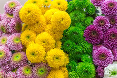 Colorful chrysanthemums flowers. Bouquet background Royalty Free Stock Image