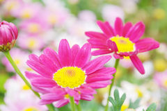 Colorful chrysanthemums growing in the garden Stock Images