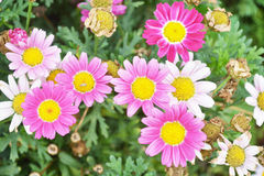 Colorful chrysanthemums growing in the garden Royalty Free Stock Image
