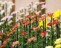 Colorful chrysanthemums in Japanese greenhouse. Close-up. Colorful chrysanthemums in Japanese greenhouse. Close-up Stock Photo