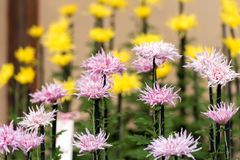 Colorful chrysanthemums in Japanese greenhouse. Close-up. Colorful chrysanthemums in Japanese greenhouse. Close-up Royalty Free Stock Photography
