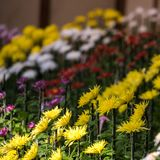 Colorful chrysanthemums in Japanese greenhouse. Close-up. Colorful chrysanthemums in Japanese greenhouse. Close-up Royalty Free Stock Photo
