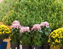 Colorful chrysanthemums in Japanese greenhouse. Copy space for text. Colorful chrysanthemums in Japanese greenhouse. Copy space for text Stock Images