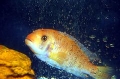 Colorful Cichlid Royalty Free Stock Image