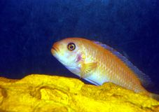 Colorful Cichlid. Electric yellow cichlid next to yellow rock Royalty Free Stock Photos